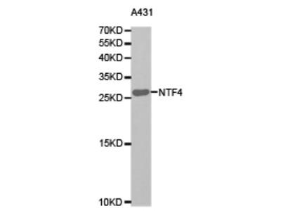 Human Neurotrophin-4 Antibody