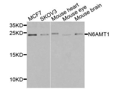 N6AMT1 Polyclonal Antibody