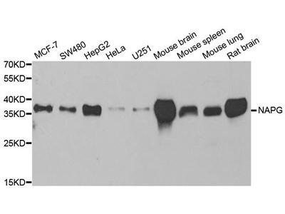 NAPG Polyclonal Antibody