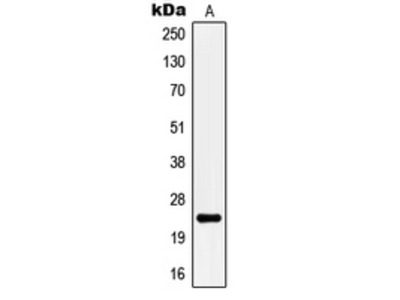 Anti-KCNMB4 Antibody