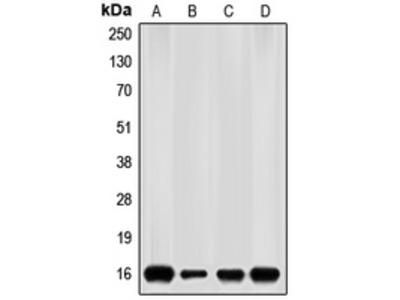 Anti-p16 INK4a Antibody