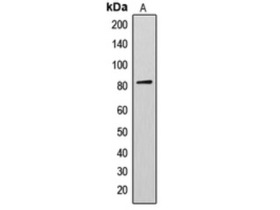 Anti-AKAP17A Antibody