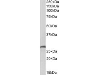 Goat anti-proteinase 3 / myeloblastin (aa88-98) Antibody