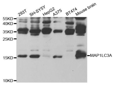 MAP1LC3A Polyclonal Antibody