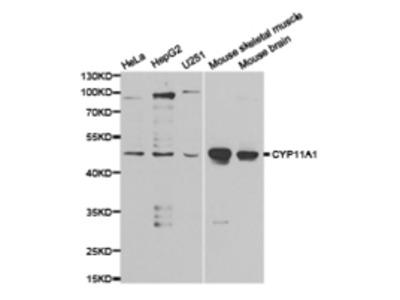 CYP11A1 Antibody