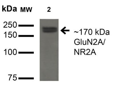 GluN2A/NR2A Antibody
