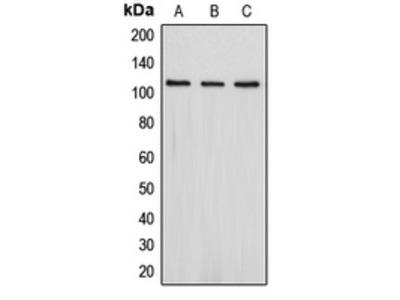 Anti-PSD93 Antibody