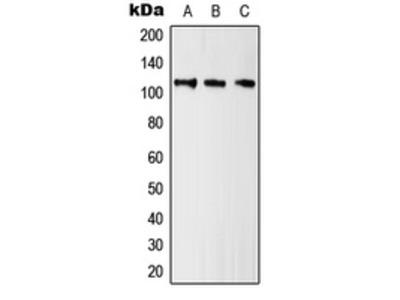 Anti-Kv10.1 Antibody