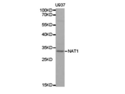 NAT1 Antibody