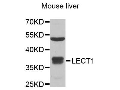 LECT1 Polyclonal Antibody