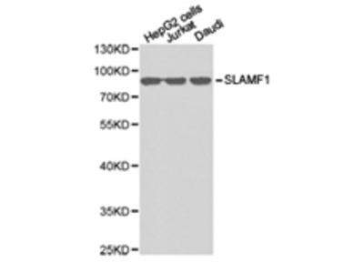 SLAMF1 Antibody