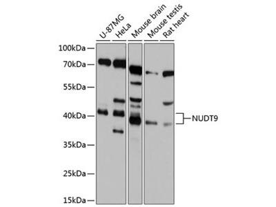 NUDT10 Antibody