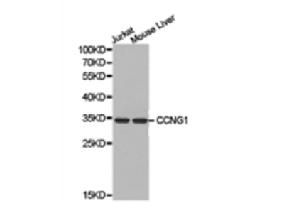 cyclin G1 Antibody