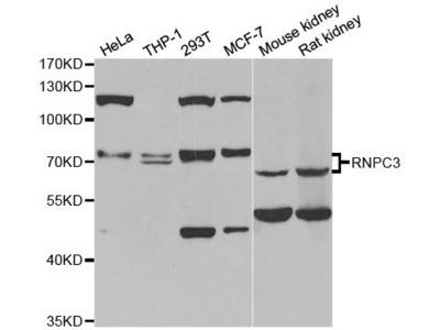 RNPC3 Polyclonal Antibody