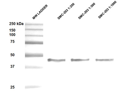 Hsp47 Antibody: Biotin
