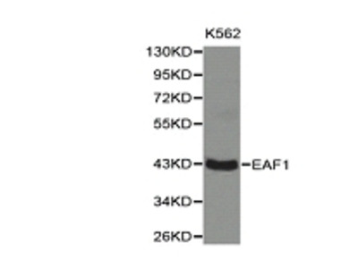 EAF1 Antibody
