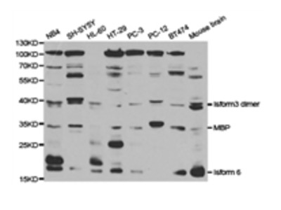 MBP Antibody
