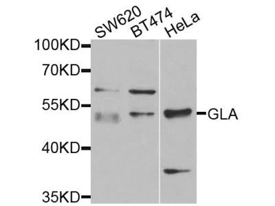 GLA Polyclonal Antibody