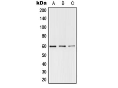 Anti-TERF1 (pS219) Antibody