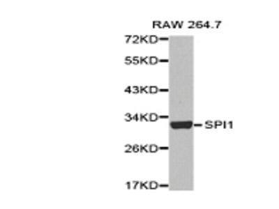 PU.1 Antibody