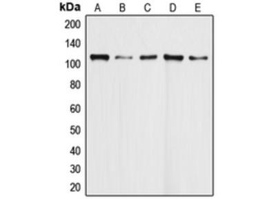 Anti-DAXX Antibody