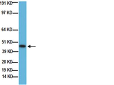 Anti-Growth Associated Protein 43 Antibody, clone 9-1E12