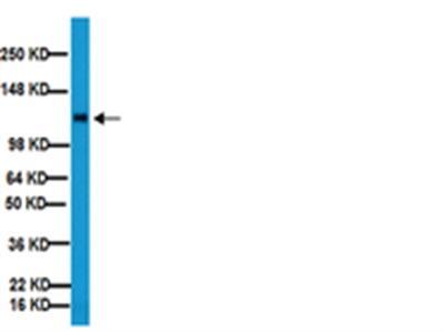 Anti-Integrin β1 Antibody, clone MB1.2