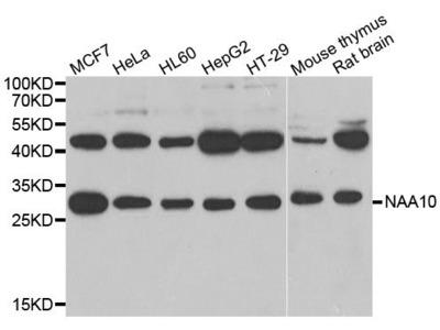 NAA10 Polyclonal Antibody