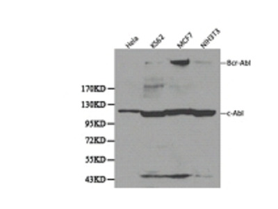 c-Abl Antibody