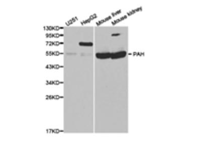 PAH Antibody