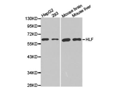 HLF Antibody