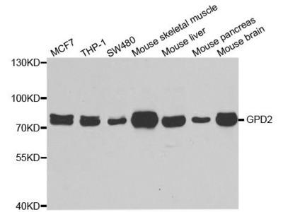 GPD2 Polyclonal Antibody