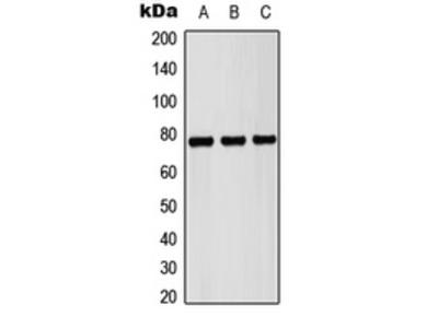 Anti-Pericentrin Antibody
