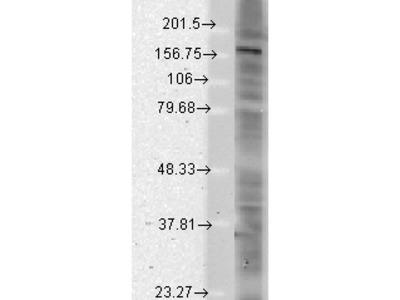 SHANK (pan) Antibody: Alkaline Phosphatase