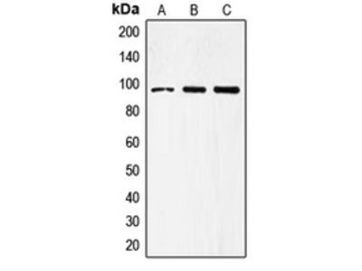Anti-CD284 Antibody