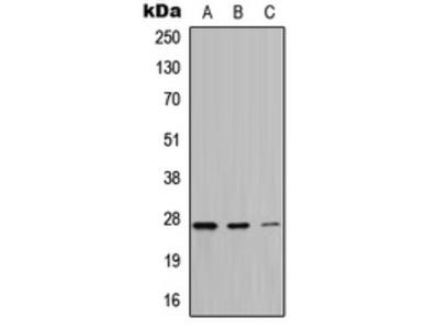 Anti-ATP6 Antibody