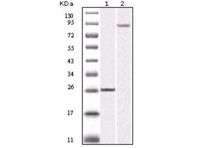 IKBKB antibody