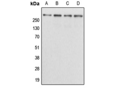 Anti-Kalirin Antibody