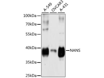 NANS Polyclonal Antibody
