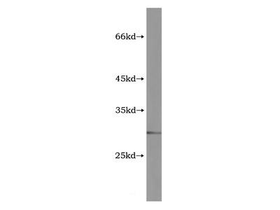 GZMM Antibody