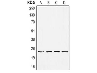 Anti-SSX-pan Antibody