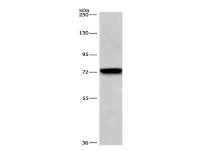 BCAM Polyclonal Antibody