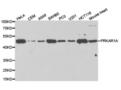 PRKAR1A Antibody