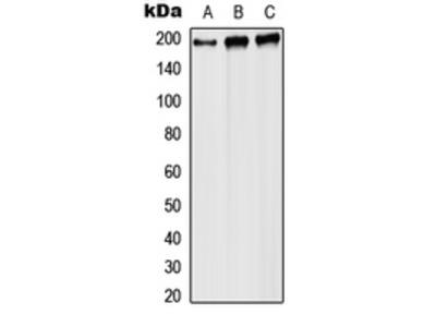 Anti-RPA1 Antibody