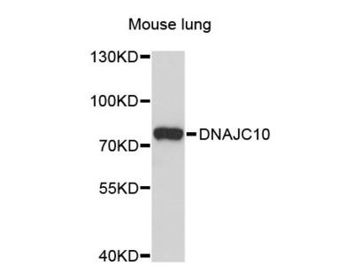 DNAJC10 Polyclonal Antibody