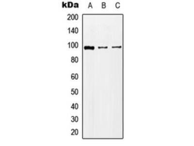 Anti-KA2 Antibody