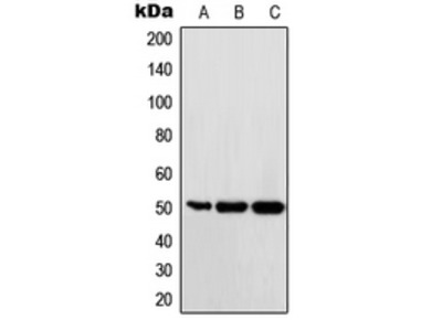 Anti-c-Maf Antibody