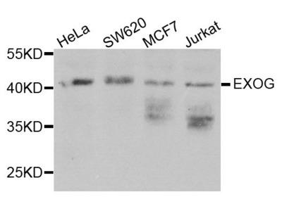 EXOG Polyclonal Antibody