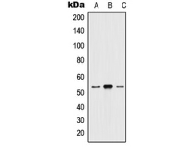 Anti-5-HT2A Antibody