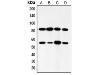 Anti-PI3K p85 alpha/p55 gamma Antibody